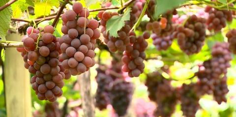 Produção de uvas cresce no Estado do Rio de Janeiro