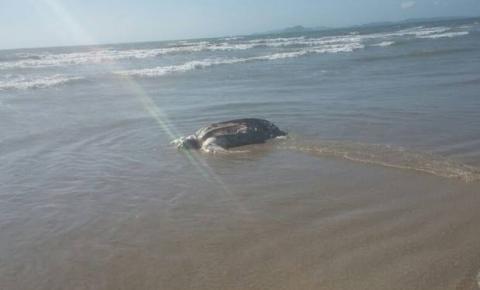 Tartaruga de 50 kg é encontrada morta em praia de Cabo Frio