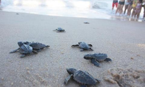 Soltura de tartarugas em Grussaí nesta sexta em SJB
