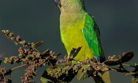 O tráfico de aves silvestres pode provocar a extinção de diversas espécies
