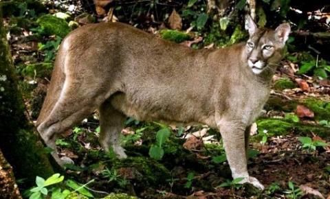 Segundo maior felino do continente é flagrado em parque do Inea em Nova Friburgo