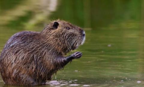 Surgimento de mais um ratão-do-banhado em SFI acende alarme para a espécie invasora